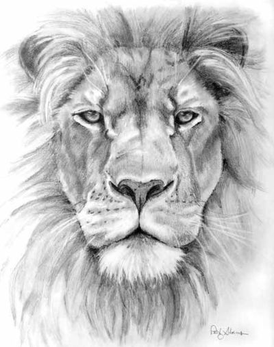 Line Drawing Lion Face : Lion pencil drawing patty storms stamford ct nice