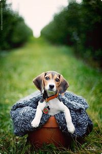 Oh...sweet beagles! Just love 'em.