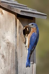 Eastern bluebird - not normally at the feeder, but they live in the field next to our house