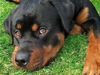 Rotts, the best dogs on the planet. Just love em!