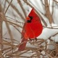 Northern Cardinal | National Audubon Society Birds