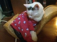 Max's birthday coincides with my cakeday! Here he is, wearing PJs & snoozing in his new bed. cute cat