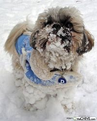 Shih Tzu in the snow