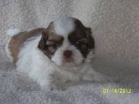 AKC liver Shih Tzu...he's so cute!