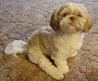 #Shih Tzu #dog #puppy