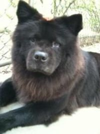 RUBY is an adoptable Chow Chow Dog in Dix Hills, NY. DIAMOND AND HER SISTER RUBY ARE TWO VERY BONDED 4 YEAR OLD CHOWS. THEIR 45 YEAR OLD OWNER DIED SUDDENLY AND HER FIANCE KEPT THEIR 9 YEAR OLD MOTHER...