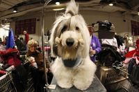 Tahoe, an Old English Sheep dog stands in the grooming area before his competition during the 136th Westminster Kennel Club Dog Show in New York's Madison Square Garden